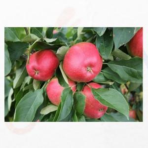 Pomi fructiferi pentru plantatii intensive si superintensive